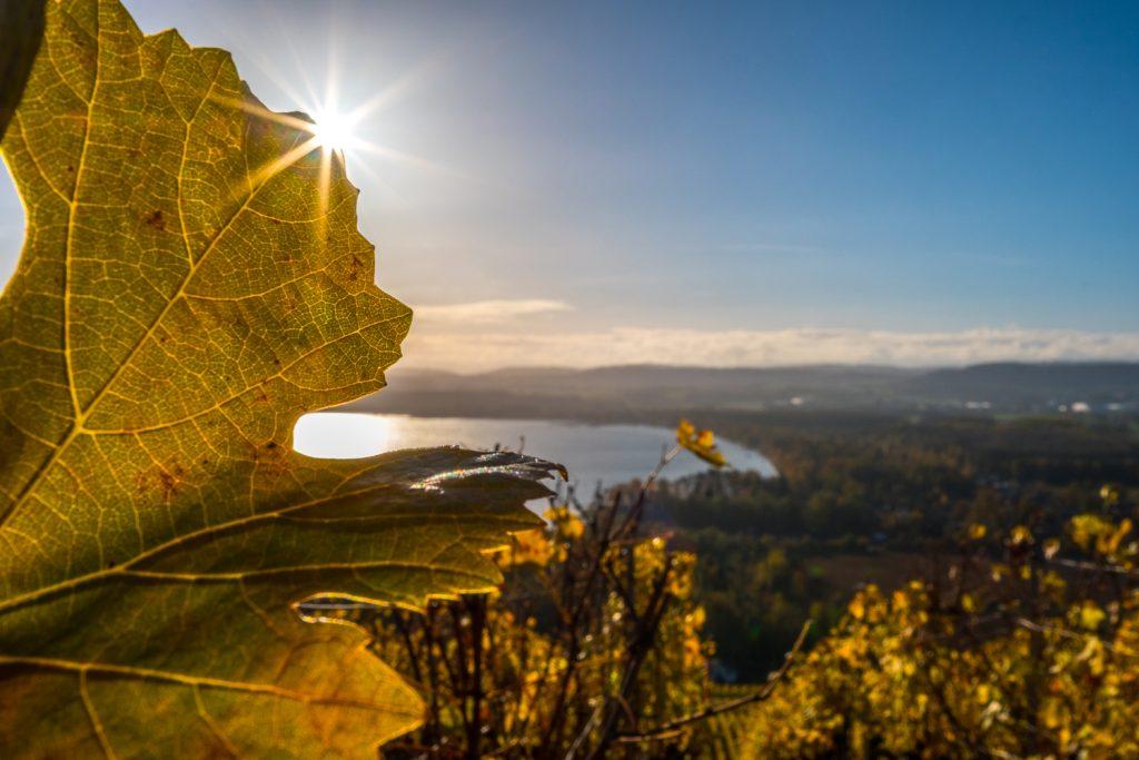Herbstliche Stimmung auf den Weinreben mit Blick auf den Murtensee
