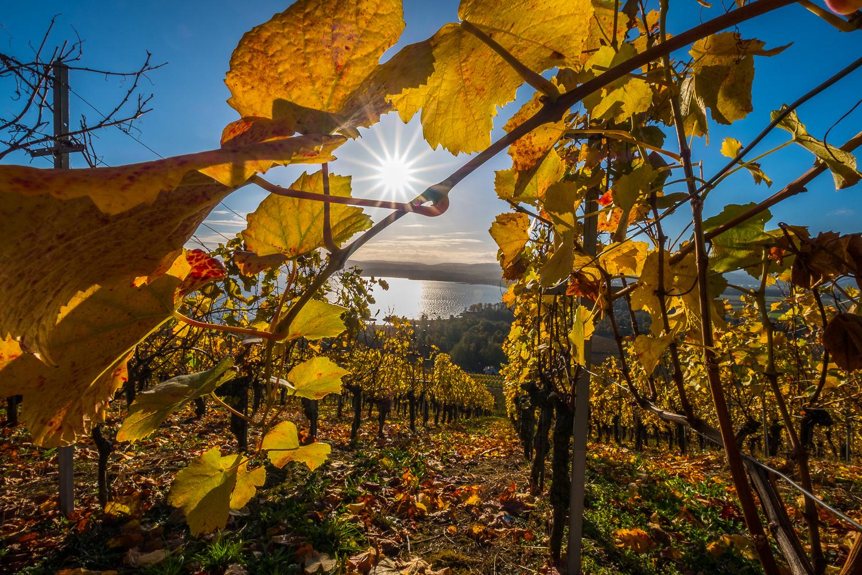 Goldener Herbst auf den Weinreben